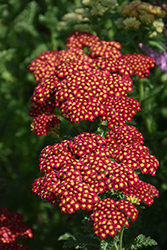 Strawberry Seduction Yarrow (Achillea millefolium 'Strawberry Seduction') at Creekside Home & Garden