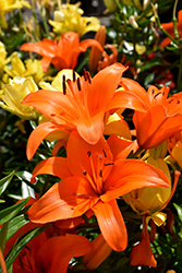 Brunello Lily (Lilium 'Brunello') at Creekside Home & Garden
