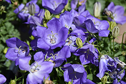 Rapido Blue Bellflower (Campanula carpatica 'Rapido Blue') at Creekside Home & Garden