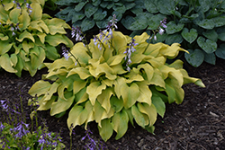 Sun Power Hosta (Hosta 'Sun Power') at Creekside Home & Garden