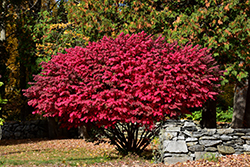 Winged Burning Bush (Euonymus alatus) at Creekside Home & Garden