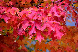 Fall Fiesta Sugar Maple (Acer saccharum 'Bailsta') at Creekside Home & Garden