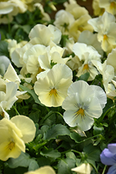 Cool Wave® Yellow Pansy (Viola x wittrockiana 'PAS954554') at Creekside Home & Garden