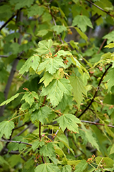 Rocky Mountain Maple (Acer glabrum) at Creekside Home & Garden