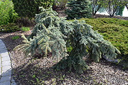 Weeping Blue Spruce (Picea pungens 'Pendula') at Creekside Home & Garden