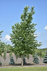 Northwest Poplar (Populus x jackii 'Northwest') at Creekside Home & Garden