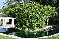 Riverbank Grape (Vitis riparia) at Creekside Home & Garden