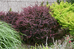 Rose Glow Japanese Barberry (Berberis thunbergii 'Rose Glow') at Creekside Home & Garden