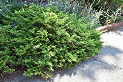 Buffalo Juniper (Juniperus sabina 'Buffalo') at Creekside Home & Garden