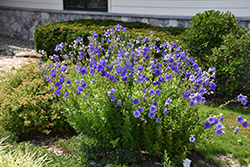 Astra Double Blue Balloon Flower (Platycodon grandiflorus 'Astra Double Blue') at Creekside Home & Garden
