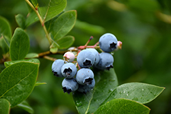 Northcountry Blueberry (Vaccinium 'Northcountry') at Creekside Home & Garden