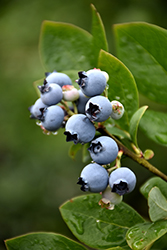 Northblue Blueberry (Vaccinium 'Northblue') at Creekside Home & Garden