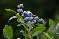 Northland Blueberry (Vaccinium corymbosum 'Northland') at Creekside Home & Garden