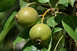 Golden Spice Pear (Pyrus ussuriensis 'Golden Spice') at Creekside Home & Garden