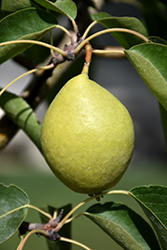 Early Gold Pear (Pyrus ussuriensis 'Early Gold') at Creekside Home & Garden