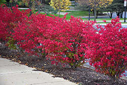 Fire Ball® Burning Bush (Euonymus alatus 'Select') at Creekside Home & Garden