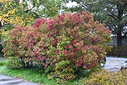 Autumn Jazz Viburnum (Viburnum dentatum 'Ralph Senior') at Creekside Home & Garden