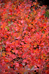 Gro-Low Fragrant Sumac (Rhus aromatica 'Gro-Low') at Creekside Home & Garden