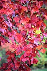 Red Maple (Acer rubrum) at Creekside Home & Garden