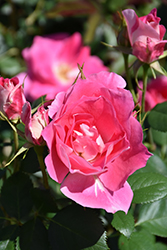 Carefree Wonder Rose (Rosa 'Carefree Wonder') at Creekside Home & Garden