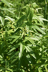 Lemon Verbena (Aloysia citrodora) at Creekside Home & Garden