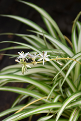 Spider Plant (Chlorophytum comosum) at Creekside Home & Garden